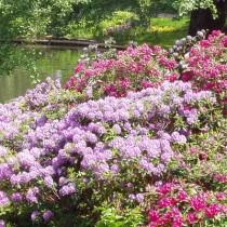 rododendrony w Twoim ogrodzie